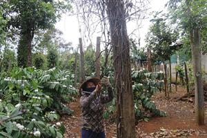 Cây tiêu ở Đắk Nông chết trước khi thu hoạch