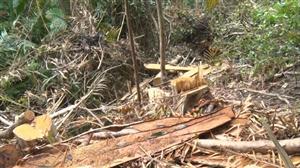 Khai thác gỗ bất hợp pháp tràn lan ở Quảng Trị