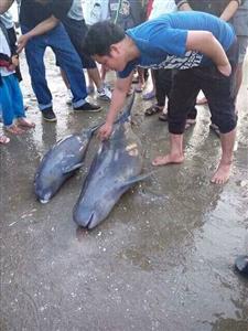 Hà Tĩnh ngư dân cứu hộ ba cá heo