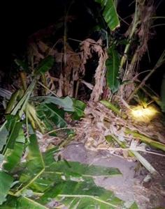 Những con voi hoang dã tiêu hủy cây trồng ở Dak Lak