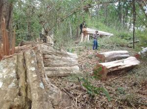 Khai thác trái phép, buôn lậu được tìm thấy trong rừng Tây Nguyên được bảo vệ