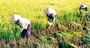 Thu nhập của nông dân trồng lúa giảm 7 lần trong 10 năm qua
