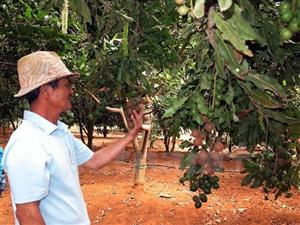 Tây Nguyên kêu gọi đảm bảo hiệu quả mở rộng macadamia