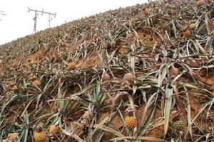 Phát thải các nhà máy luyện kim tiêu hủy cây dứa Lào Cai