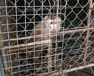 Những con khỉ hiếm được thả trở lại hoang dã ở Hà Tĩnh