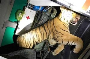 180kg hổ đông lạnh tìm thấy trong xe cứu thương